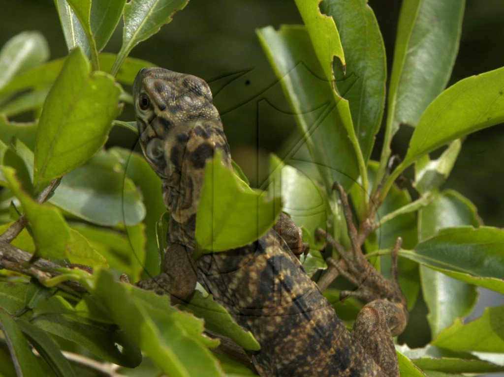Jamaican-Iguana