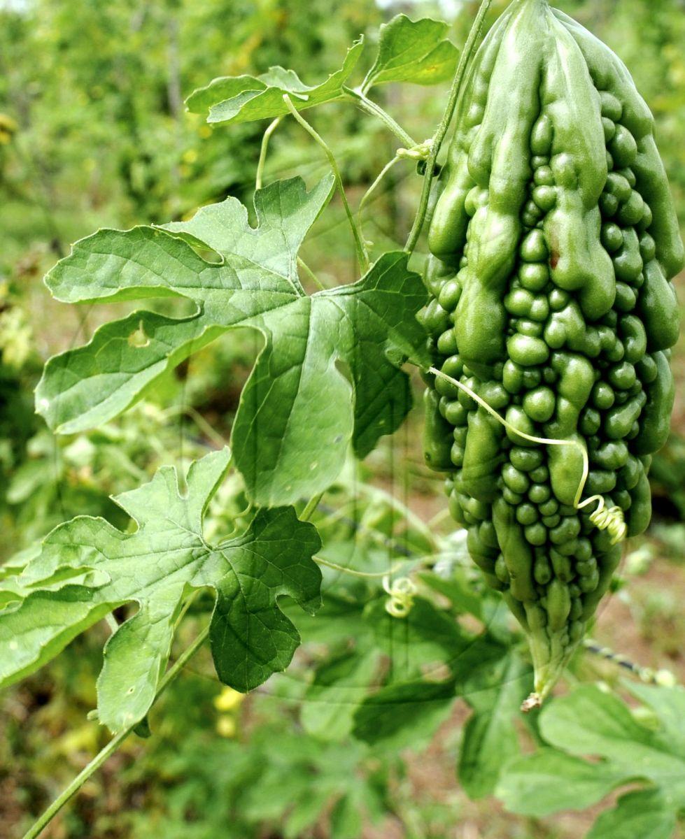 Popular Jamaican Herbal Remedies —diG Jamaica