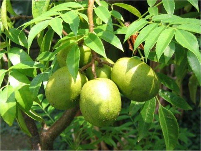 june plum