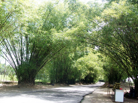 HollandBambooAvenue