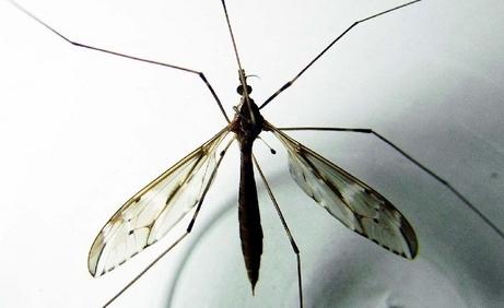 Mosquito20080714C